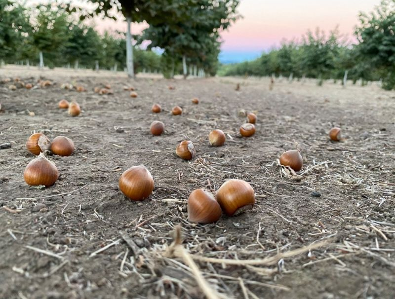 upclose of hazelnuts on the ground